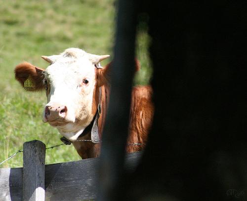 Schliersee - Vaca tramando algo