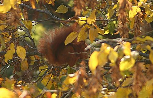 Ardilla roja sobre una rama
