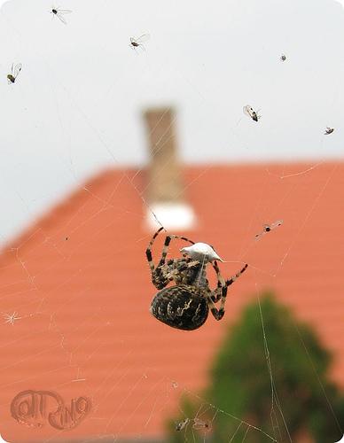 Piliscsaba - Araña